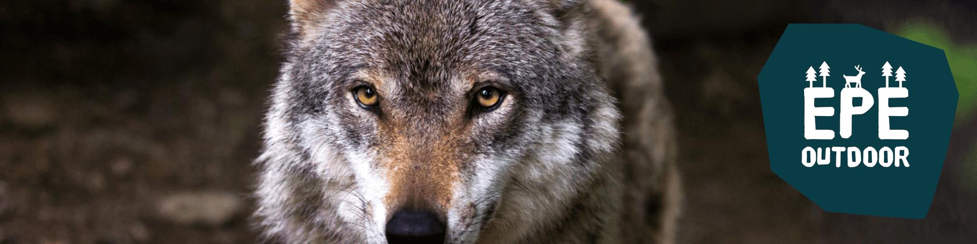 Wolf in de bossen van Epe