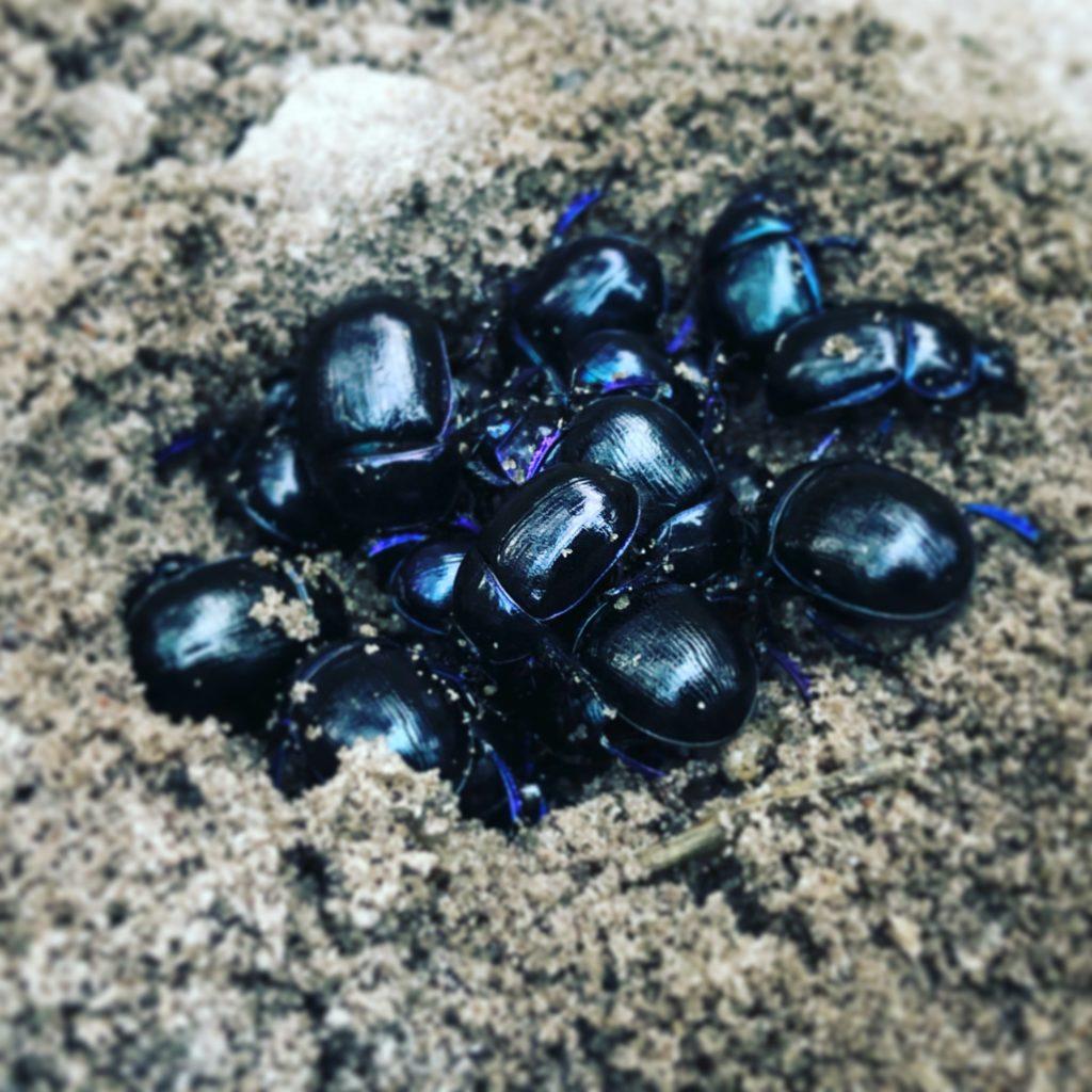 Nest mestkevers