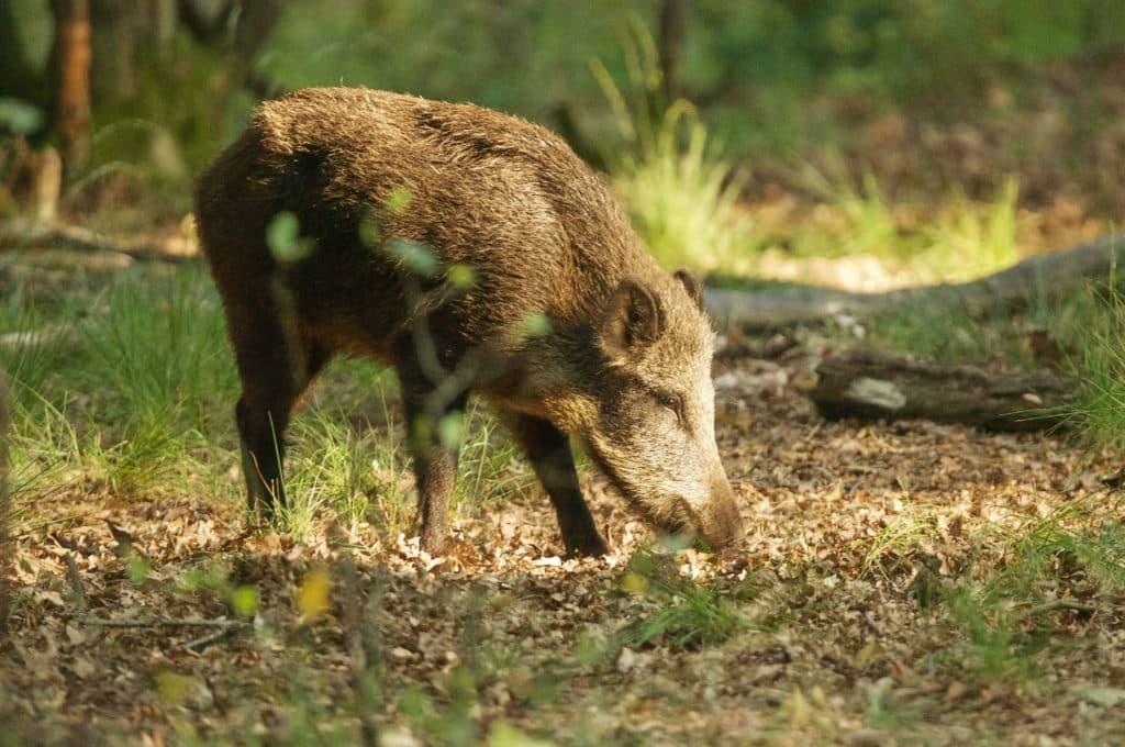 Jong wild zwijn op de Veluwe