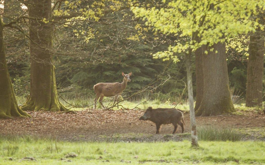 Wild zwijn en edelhert op de Veluwe