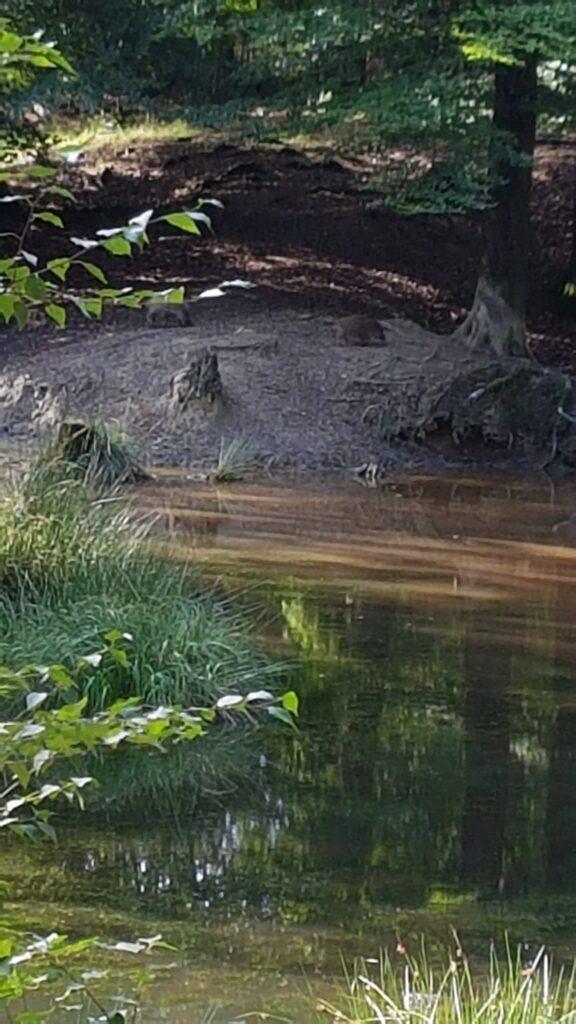 Wilde zwijnen in Kroondomein het Loo bij de Stadhoudersleemkuil